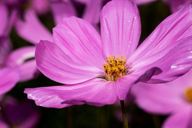 Flor de cosmos rosa em preto