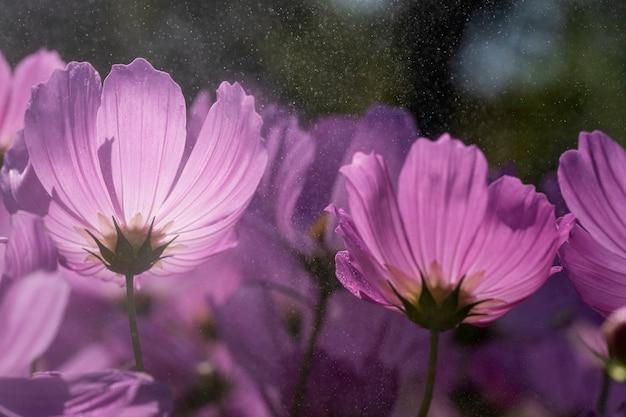 Flor de cosmos rosa enquanto chove