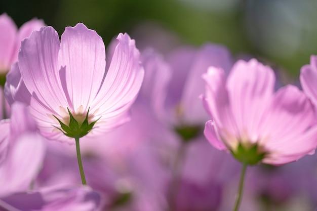 Flor de cosmos rosa no campo.