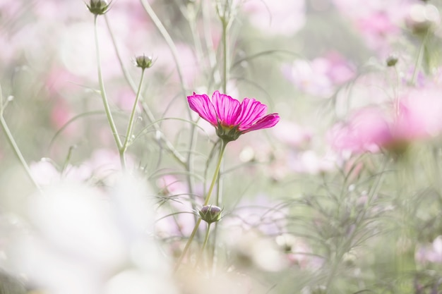 Flor de cosmos rosa no jardim