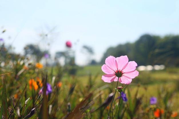 Flor de cosmos rosa roxo no jardim