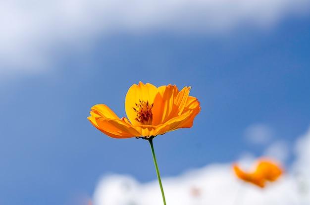 Flor de cosmos sob o céu azul no horário de verão