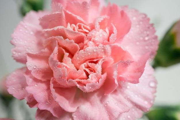 Flor de cravo com gotas de água macro