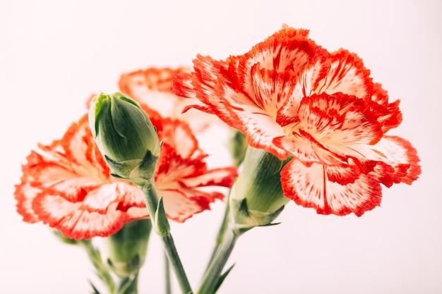 Flor de cravos e bud em fundo branco