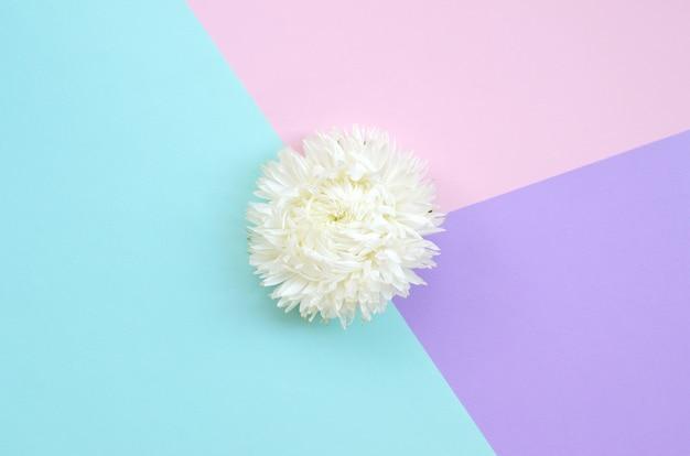 Flor de crisântemo branco sobre fundo azul rosa e lilás pastel vista superior