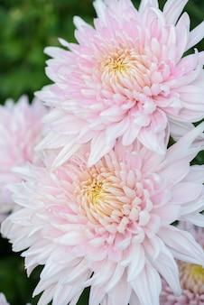 Flor de crisântemo branco