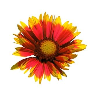 Flor de crisântemo vermelha e amarela com pétalas espalmadas em um fundo branco puro e isolado em uma orientação quadrada.