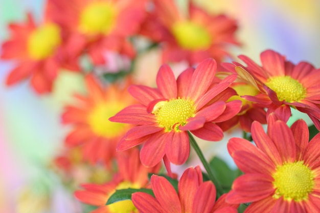 Flor de crisântemo