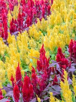 Flor de crista de galo emplumada colorida