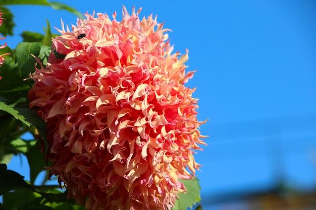 Flor de dália fresca rosa brilhante em frente ao céu para o banner