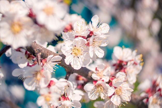 Flor de damasco, bokeh de desfoque de forma de coração