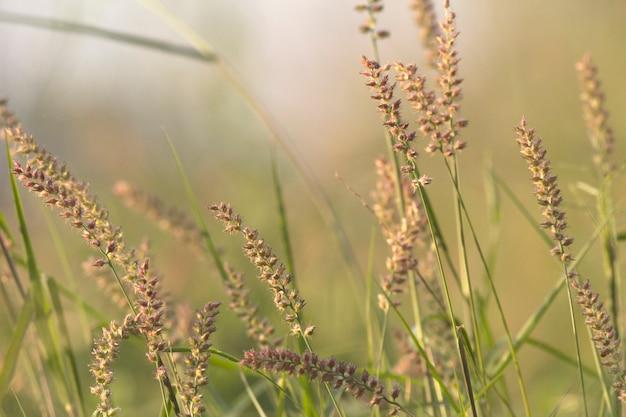 Flor de erva daninha, grama de barba de ouro