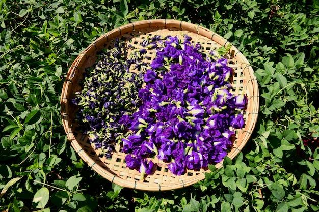 Flor de ervilha borboleta seca na cesta para misturar com água quente para beber
