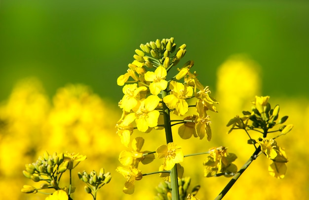 Flor de estupro amarela no campo. primavera Foto Premium