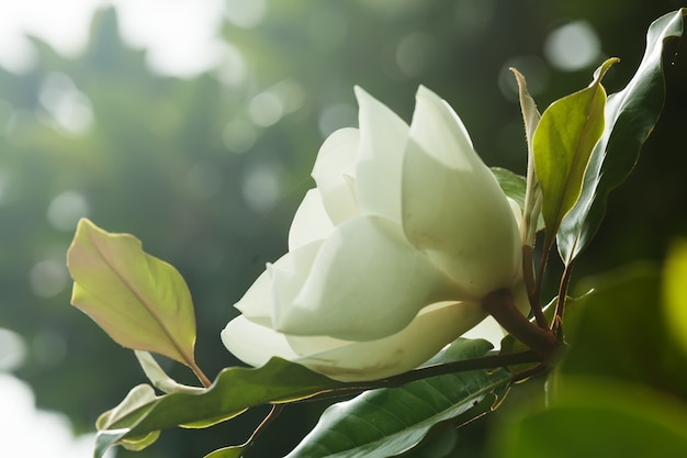 Flor de ficus elastica