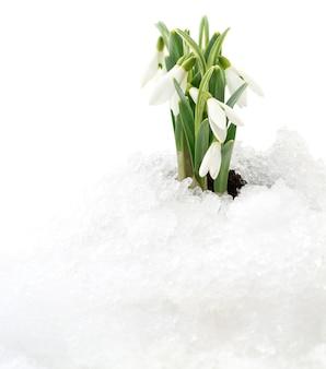 Flor de floco de neve saindo da neve real