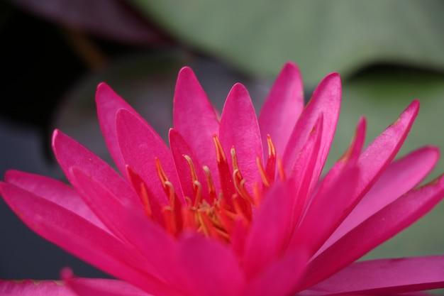 Flor de flor de lótus rosa flor brilhante e bonita no fundo da natureza