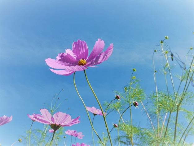 Flor de flor rosa cosmos