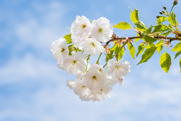 Flor de flores brancas de sakura em um galho de árvore na primavera sobre o céu azul