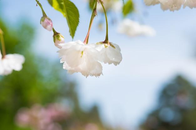 Flor de flores brancas de sakura em um galho de cerejeira na primavera, céu azul. macro close-up shot