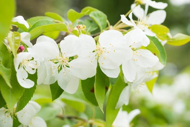Flor de flores brancas de sakura em um galho de cerejeira na primavera. macro close-up shot