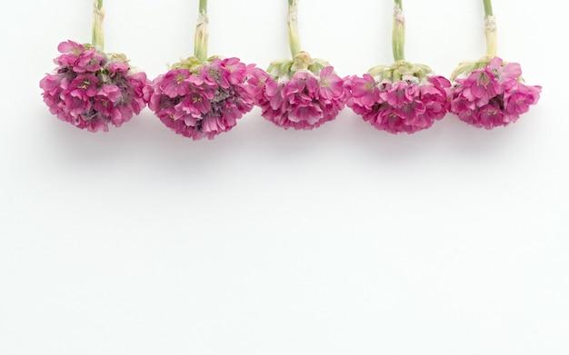 Flor de florescência armeria em um fundo branco.