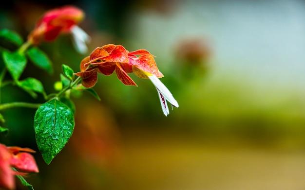 Flor de florescência bonita no parque, nepal.