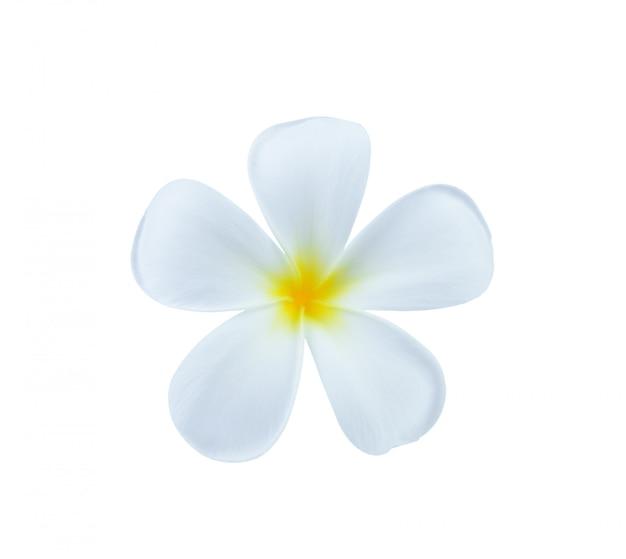 Flor de frangipani branco isolada