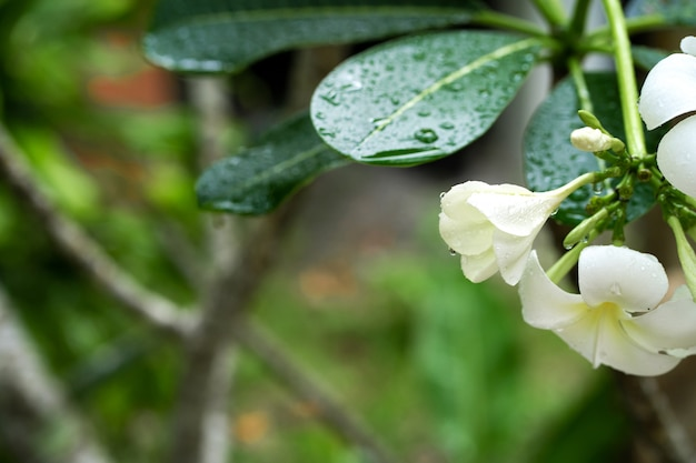 Flor de frangipani closeup com pingos de chuva nas folhas. plantas tropicais
