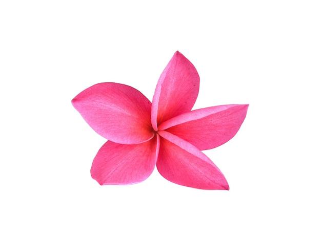 Flor de frangipani isolada em fundo branco