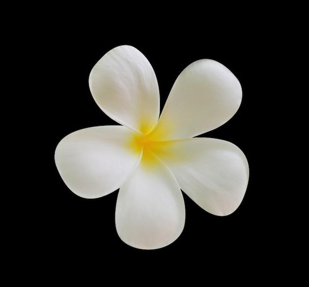 Flor de frangipani isolada em preto