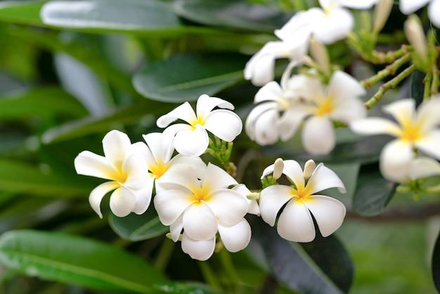 Flor de frangipani ou plumeria flower com fundo desfocado