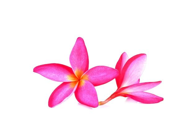 Flor de frangipani rosa em branco