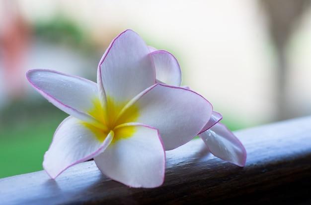 Flor de frangipani rosa