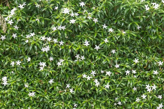 Flor de gardênia no jardim com backgroud turva.