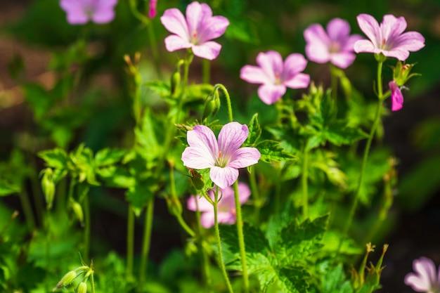 Flor de gerânio rosa no jardim no verão ensolarado