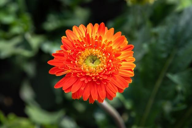 Flor de gerbera laranja desabrocham e florescendo no jardim