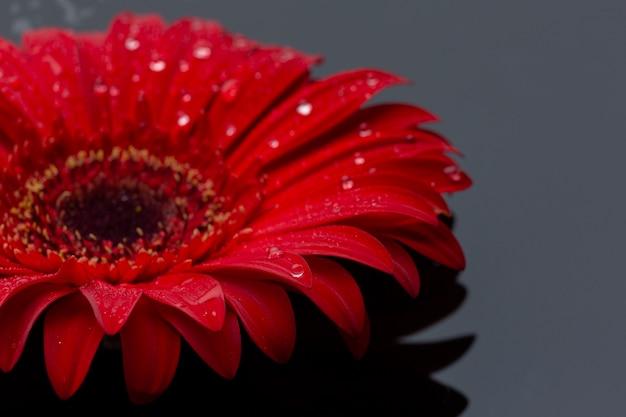 Flor de gerbera vermelha close-up com pingos de chuva