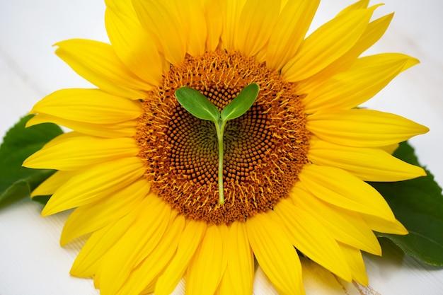 Flor de girassol com micro mudas dentro, isolada em um branco
