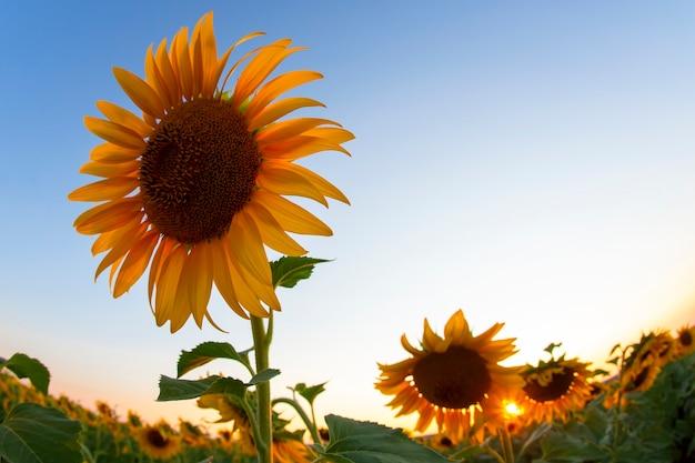 Flor de girassol em um campo em raios de sol contra o céu. agricultura e agroindústria
