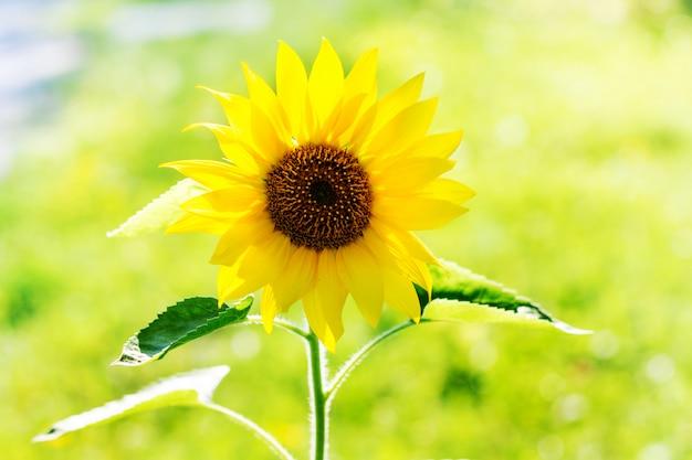 Flor de girassol em uma luz de fundo em um dia ensolarado de verão