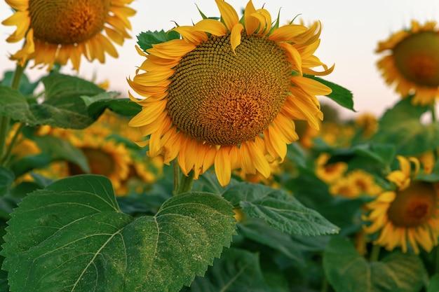 Flor de girassol fechar em campo. girassol florescendo. pólen amarelo nas folhas da planta.