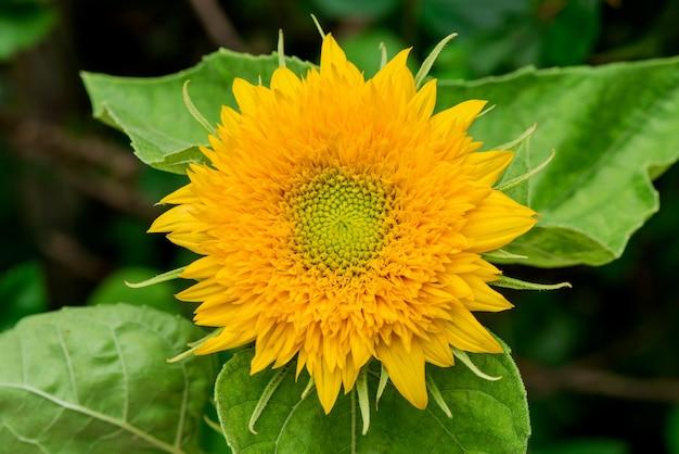 Flor de girassol no fundo da natureza.