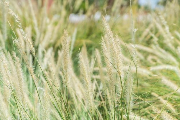 Flor de grama borrada