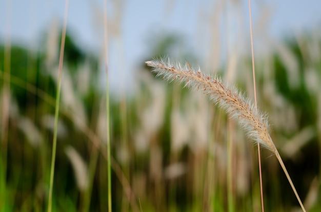 Flor de grama de missão de cor branca.