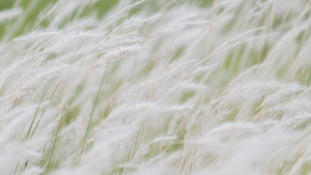 Flor de grama seca soprando no vento, junco vermelho balançar ao vento Foto Premium