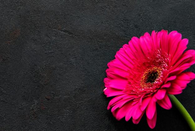 Flor de herbera brilhante em fundo preto