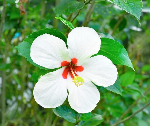 Flor de hibisco branco no jardim tropical