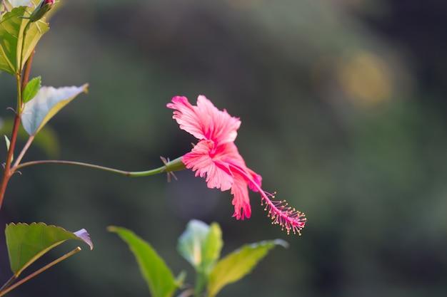 Flor de hibisco da família da malva malvaceae hibiscus rosasinensis conhecida como flor de sapato
