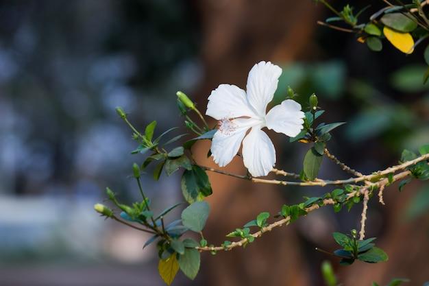 Flor de hibisco em plena floração durante a primavera em um parque público